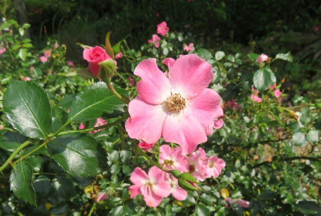 東山植物園のバラの紹介です。5月のバラを見学に5月末にもやって来ましたが、残念ながら新型コロナの影響で休園中でした。6月2日の今日が、東山動植物園再開の初日でした。