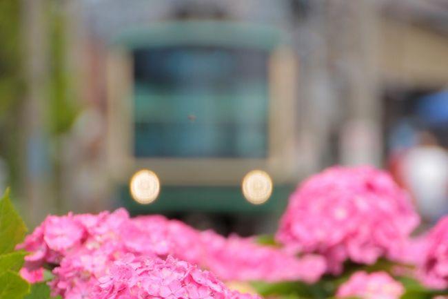 2020年6月19日、ついに首都圏でも県をまたいでの移動制限が解除されました。鎌倉のアジサイ、今年は開花がやや早いようですが、まさにシーズンを迎えています。自粛中に地元のアジサイスポットめぐりをしたので、今年の状況を少しご報告したいと思います。<br /><br />今回は江ノ電とアジサイのコラボ写真が撮れることで人気の御霊神社と長谷寺、光則寺、極楽寺のアジサイをお届けします。<br />大仏や八幡宮を加えても1日で十分廻れるコースなので、ご来訪を検討されている方の参考になれば幸いです。<br /><br />※長谷寺と光則寺はお花の見どころ満載なので単独でも旅行記を作成しました。また別の日に行った明月院の旅行記もあります。よろしければそちらもご覧ください(^^)<br /><br />長谷寺:https://4travel.jp/travelogue/11629088<br />光則寺:https://4travel.jp/travelogue/11629281<br />明月院:https://4travel.jp/travelogue/11628157