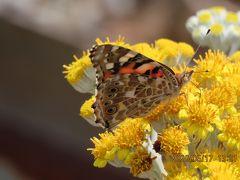 森のさんぽ道で見られた蝶(37)ヒカゲチョウ、ヒメアカタテハ、アカシジミ、モンキチョウ他