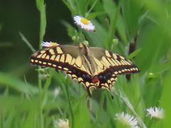 森のさんぽ道で見られた蝶(38)キアゲハ、キタテハ、ルリタテハ、ヒメアカタテハ、ヒメジャノメ他