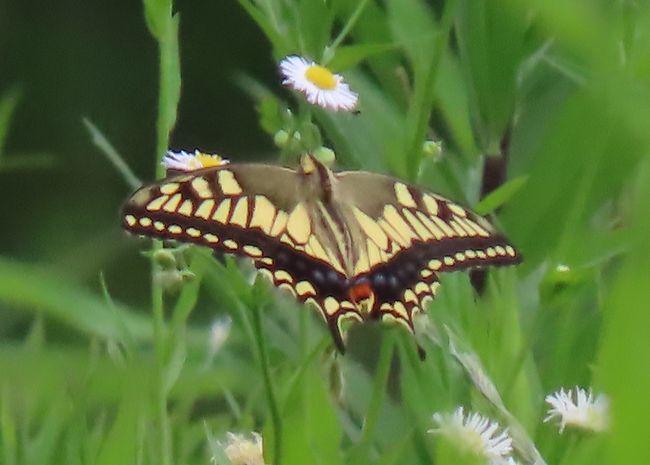 6月18日、午後1時頃に川越市の森のさんぽ道へ行きました。 この日は曇りで気温が27℃で、湿度が高い日でした。蝶はあまり期待していませんでしたが、結果的には予想以上に見られました。 キアゲハ、ヒメジャノメ、ルリタテハ、キタテハ、ヒメアカタテハ、イチモンジチョウ、ヒカゲチョウ他計11種類が見られました。 得られた結果は以下の通りです。<br /><br />●キアゲハが午後3時頃に森のさんぽ道の中央部の荒れ地で3,4頭みられました。 羽化したばかりで羽が美しかったです。<br />●今年初めてヒメジャノメが見られました。<br />●奥の方の森でキタテハ、ルリタテハがクヌギの樹液に止まっているのが見られました。<br />●昨日見ました樹液が出てもいない樹にヒカゲチョウが群がっているのを今日も見ました。なぜ群がっているかを調べましたら、小さな穴からケシキスイが出ていましたので樹液が出ているのを吸蜜しているということがわかりました。クヌギのように樹液が沢山出ている樹ではありません。<br />●その他としてはキチョウ、モンシロチョウ、ヤマトシジミ、イチモンジチョウ、サトキマダラヒカゲ、ヒメアカタテハが見られました。<br /><br />*荒れ地で見られたキアゲハ