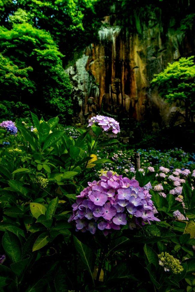 日本最大級の不動明王磨崖仏で知られる大分県豊後大野市朝地の普光寺は、別名「あじさい寺」とも呼ばれ、多くの鑑賞客が訪れます。