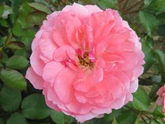 2020初夏、東山植物園のバラ(5/9):6月2日(5):ステファニー・ドゥ・モナコ、スブニール・ドゥ・アンネフランク、カクテル