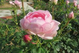2020初夏、東山植物園のバラ(9/9):6月2日(9):ホワイト・クリスマス、ワイフ・オブ・バス、グラミス・キャッスル、ラ・フランス
