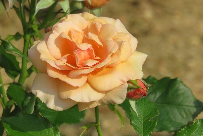 2020初夏、東山植物園のバラ(8/9):6月2日(8):オレンジ・スプラッシュ、錦、アンクル・ウォルター、フリージア、ブルー・パフューム