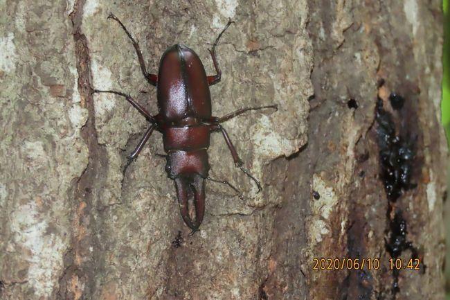 6月10日~6月18日の間、川越市の森のさんぽ道へ蝶の観察のために5回行きました。樹液に集まる蝶の観察と同時に見られた昆虫を纏めてみました。 クヌギの樹液に集まる昆虫としてはクワガタムシ、ヨツボシケシキスイ、ヨツボシオオキスイ、カナブン、コメツキムシ、カミキリムシ、ゾウムシとスズメバチが見られました。 これまではカブトムシはまだ見られていません。<br /><br /><br />*写真はノコギリクワガタムシ