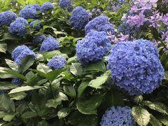広島 縮景園のアジサイが満開