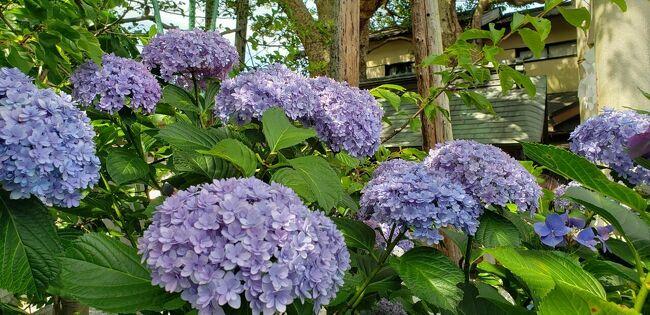 県をまたぐ移動の制限が解除された翌日土曜日、どっか行きたいけど遠出はな~ということで近場の鎌倉にお出かけしてきました。<br />例年この時期の鎌倉は紫陽花目当ての混雑で、特に土日なんか行けたもんじゃないですが、やはり今年はそれほどでもなかったです。<br />鎌倉には家から30分ほどで行けますが、知らないところだらけです。