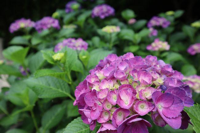 梅雨の晴れ間の土曜日、紫陽花を見に出かけて来ました。<br />四国遍路最後の八十八番霊場、大窪寺。<br />その向側に「八十八庵」というおうどん屋さんの奥の山の斜面にある「あじさい園」で紫陽花を堪能。<br />名物の打ち込みうどんをいただいた後は「野田屋 竹屋敷」という旅館に立ち寄り、夏に咲く一日花と言われる「ナツツバキ」を見に行きました。<br />ちょうど雨が降った後だったこともあり、花の彩りも新緑も眩しいくらい鮮やかでした!!<br />初夏の自然の美しさに癒され、すっきりとした爽やかな気分で帰って来ました。<br />