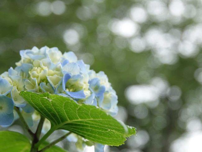 車で岩本山公園に来ました。<br />公園内の紫陽花を見たり、ハイキングコースを実相寺まで歩いて往復したりしました。<br /><br />★富士市役所のHPです。<br />https://www.city.fuji.shizuoka.jp/