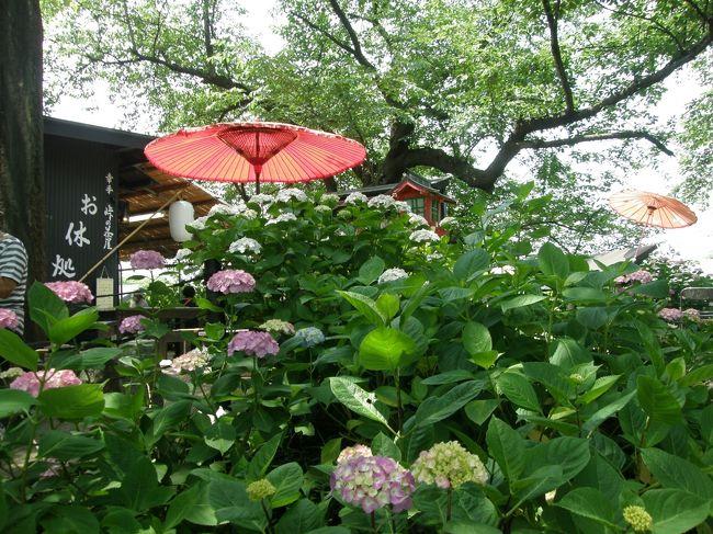 久喜市菖蒲のラベンダーが、コロナウイルス対応で、すべての花が切り落とされて、楽しめなかったので、翌日訪れようと計画していた幸手権現堂堤のアジサイを見に行くことに・・・<br /><br />平日の為、思ったよりゆっくり楽しむことができました。