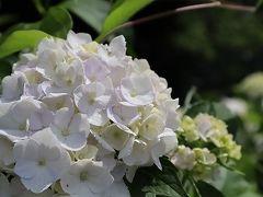 南沢あじさい山は、梅雨空に咲くアジサイの花が素晴らしい。