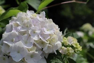 梅雨の中休みに、あきる野市深沢にある南沢あじさい山へ紫陽花を見に行ってきました。80代半ばの 南澤忠一さんが一人で、何十年もの歳月をかけて作ったあじさい山には、現在約10000株の紫陽花が咲き誇っています。<br />山間の傾斜地に咲く紫陽花は素晴らしい。 武蔵五日市駅より地図を頼りに友人に誘われて初めてのアジサイ園に歩いて入りました。以前はバスも入っていたとか?かなりの距離です。ほとんどがマイカーで見に行っています。<br /><br />ラジオ番組にも出られた方で、あじさい園を訪ねる方が何人もおられました。<br />