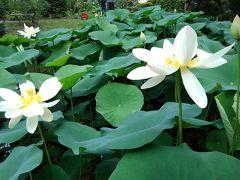 京都植物園の四季-その5(蓮)