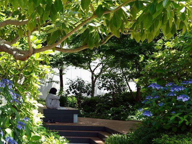 久し振りに用事で銀座に出掛けました。<br />未だ人出は少な目、帰途GINZA SIXの屋上庭園に立寄ります。<br /> GINZA SIXはオープン時に行きましたが、屋上庭園は混雑で見送った処、初めての訪問になります。<br /> 庭園は樹木が鬱蒼と茂り、とても銀座のビルの屋上とは思えません。<br />屋上を一回りして緑陰で一休み、帰りは交詢社通りを新橋に抜け地下鉄で。 <br /> ではお付合い下さい。<br /> 庭園にはあじさいが咲いて居ました。