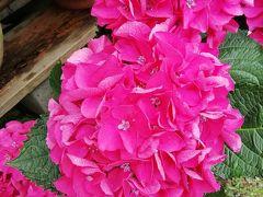 千葉の紫陽花--- 酒々井アウトレット