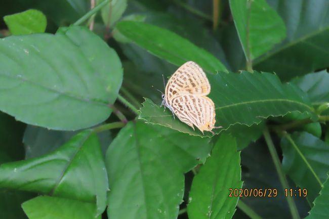 6月29日、午前10時過ぎに川越市の森のさんぽ道へ行きました。 久しぶりの梅雨の中休みで晴天でしかも湿度が低く気持ちが良い散策ができました。 約2時間半蝶を求めて散策しましたところ、このところ見られなかったウラナミアカシジミとミズイロオナガシジミが見られました。 その他は以下の通りです。 昨年に比べて見られる蝶の種類は少ないです。その原因としては荒れ地でたくさん見られたハルジオンの花が少ないことのようです。 樹液で見られる蝶も減っています。<br />森のさんぽ道へ訪れる人がかなり増えているのも原因かもしれません。<br /><br />●二週間以上も見られなかったウラナミアカシジミとミズイロオナガシジミが見られてラッキーでした。<br />ミズイロオナガシジミは後翅が一部破損していてこのために見られない表翅が見られました。<br />●イチモンジチョウが数頭見られました。<br />●ベニシジミが荒れ地の雑草の中で見られました。<br />●ヒカゲチョウはかなり発生しています。サトキマダラヒカゲよりも多く見られます。<br /><br />*写真はウラナミアカシジミ