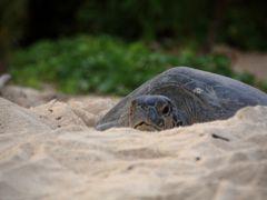 マレーシア活動制限令下でのボルネオ島・サンダカンへの旅 5.ウミガメの産卵立ち合い
