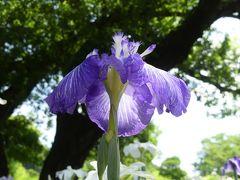 「あしかがフラワーパーク」の夏の花(1)_2020_ハナショウブとアジサイ(栃木県・足利市)