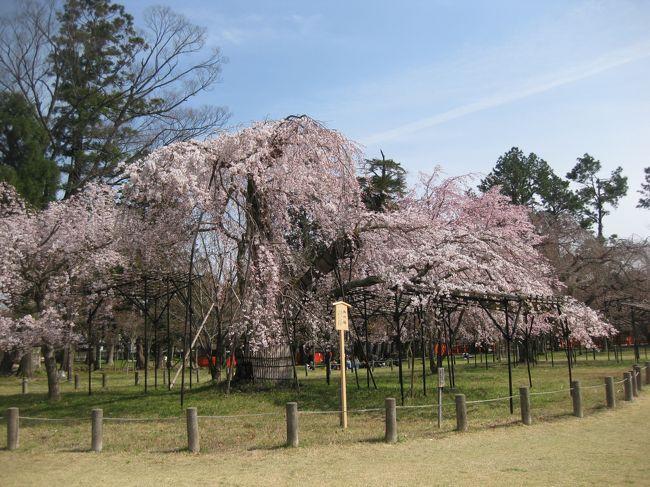 今年のお花見は古都・奈良と京都で楽しむぞ~京都編一日目