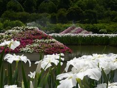 「あしかがフラワーパーク」の夏の花(3)_2020_白ハナショウブとアジサイ(栃木県・足利市)