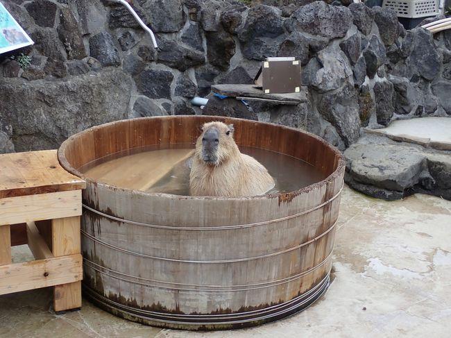 新型コロナウィルスがこれ程蔓延するとは<br />全く考えていなかった2月の末に友人夫妻と<br />伊豆へ行ってきました。<br />共通の趣味や好きな物も一緒、楽しい二日間<br />でした。<br /><br />伊豆シャボテン動物公園に到着。<br />先に着いている友人夫婦と合流、可愛い動物たちを<br />見るのが、楽しみです。