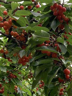 さくらんぼと立ち寄り湯🍒群馬県沼田市で季節の恵みを求めて