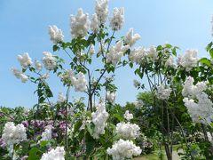 『川下公園』のライラックの森(札幌市白石区)◆peachで行く小樽・札幌・安平町《その6》