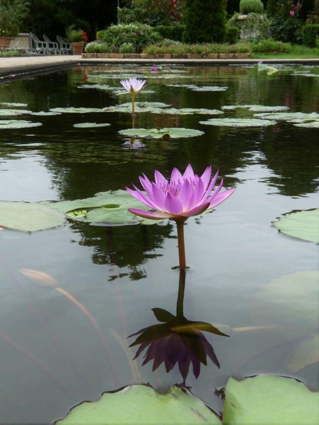 「あしかがフラワーパーク」の夏の花(4)_2020_スイレンが咲いてます(栃木県・足利市)