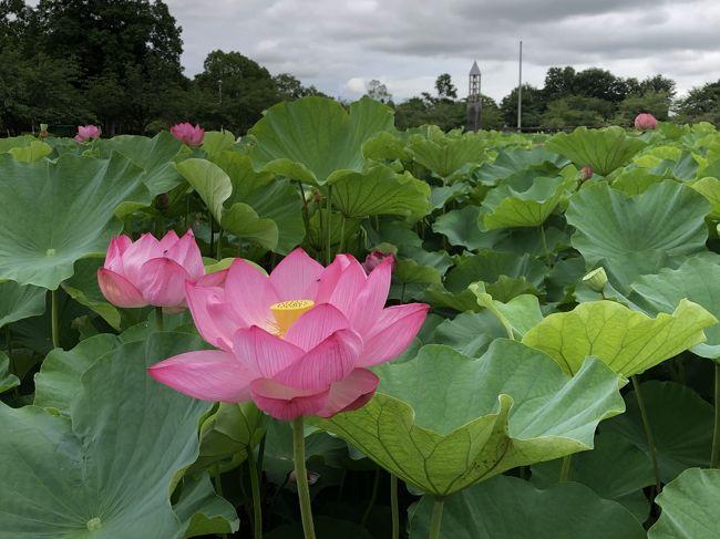 川島町は埼玉県の中央部にあり、荒川と入間川に挟まれた土地です。<br />平成の森公園は、平成8年にオープンした面積約8.4haの公園です。<br />開園時間は、9時から21時、無料で入園でき、駐車場は170台(無料)と大きいです。<br />公園内には、日本一に認定された「バラの小径」、菖蒲園、古代ハスの池、ちびっこ広場などがあります。<br />今回は、ハスの開花を見るため、開園直後に訪問しました。<br />平成の森公園の蓮は、同じ埼玉県内の行田市で発見された古代蓮(行田蓮)です。発見時の地層を測定したところ、約1400~3000年前の蓮と推定されました。行田市には「古代蓮の里」があり、蓮の資料を集めた古代蓮会館もあります。