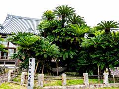 日本一の大蘇鉄松屋寺 2020