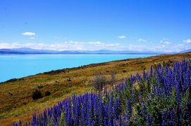 ニュージーランド 南島 ルピナス街道 ⑨ (キーア・ポイント・ウォークとプカキ湖)
