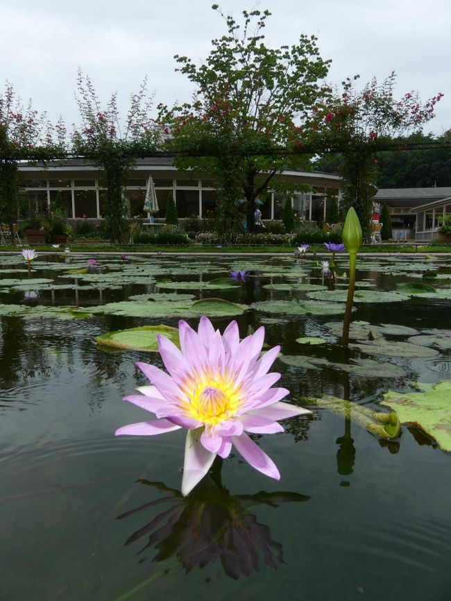 公式ホームページ(7月26日のスタッフ日記)で、「夏のメインフラワー「熱帯性スイレン」も見応えが出てきました!」とのことなので、早速見に行きました。<br />「熱帯性スイレン」は、かなり近寄れるところに咲いていますが、一方で藤棚の周りの池に咲いている「スイレン」は近寄れません。<br />「四季彩のステージ」には、ウツボカズラ等のジャングルっぽい植物が飾られており、バラ園では、まだ頑張って咲いているバラ達を見られました。