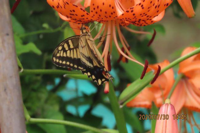 7月30日、午後2時過ぎに川越市の森のさんぽ道へ行きました。 雨天続きのために12日ぶりに訪問しました。 長雨のために森のさんぽ道は木がない畑や荒れ地にはすごく雑草が茂っていました。 この日は薄曇りの天気でたまには太陽光が見られるという状況で蝶達も飛び回っていました。 主な内容は以下の通りです。 本日見られた蝶は計9種類です。<br /><br />●オニユリの花にキアゲハが飛来していました。<br />●シジミチョウ類では荒れ地部分にヤマトシジミ、ツバメシジミが見られました。 ムラサキシジミはクヌギ林で見られました。<br />●キチョウは森の中にある草地にたくさん見られました。シソ類の花に止まっていました。<br />●キタテハは森の横の荒れ地に居ました。<br />●クヌギの樹液部分にはアカボシゴマダラ、サトキマダラヒカゲが止まっていました。<br /><br />*写真はオニユリの花に止まっていたキアゲハ