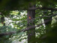 新潟県胎内市奥胎内で(新)探鳥どうでしょう、最終日。「ああ、奥胎内のアカショウビン神よ!!。ありがたや!その御姿。来年もよろしく。」。