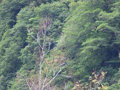 新潟県胎内市奥胎内で(新)探鳥どうでしょう、4日目。「明日帰っちゃうのに、アカショウビンが見れなかったら、ヤバイよ・YABAIYO・・・」。