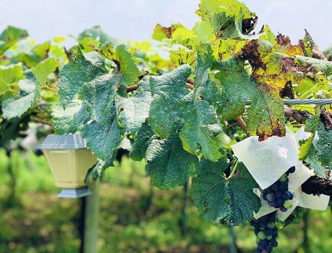 ★2020夏★新型コロナウィルスの影響下、密にならない楽しみを見つけようと模索。葡萄畑とワインを求めて山梨県へ行ってきました!<br />※時節柄、試飲を実施していないワイナリーが多くありました。事前調査必です。<br /><br />10:30   新宿発(特急かいじ)<br />11:46   勝沼ぶどう郷駅到着<br />12:00   ルミエールワイナリー レストラン・ゼルコバにて昼食<br />14:00  中央葡萄酒<br />14:30  ぶどうの丘 ワインカーヴ<br />18:05  勝沼ぶどう郷発(特急かいじ乗車)<br />19:27  新宿着(特急かいじ)