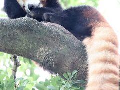 車デビューの伊豆のレッサーパンダ遠征(6)熱川バナナワニ園:約2時間の滞在で非展示の子を除き総勢11頭のニシレッサーパンダに再会