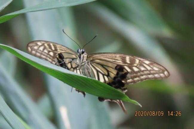 8月9日、午後2時過ぎに川越市の森のさんぽ道へ蝶の観察にいきました。 この日は気温が34℃越で汗びっしょりなりました。 8日振りの訪問で雰囲気はすっかり変わっていました。 見られた結果は以下の通りです。本日に見られた蝶は計8種類です。<br />●羽化したばかりのナミアゲハが見られました。<br />●アカボシゴマダラがかなり見られました。<br />●シジミチョウはヤマトシジミ、ツバメシジミ、ムラサキシジミが見られました。<br />●タテハチョウ類はアカボシ以外にルリタテハ、イチモンジチョウが見られました。<br />●ヒカゲチョウ類はサトキマダラヒカゲがかなり見られました。<br /><br />*写真はナミアゲハ