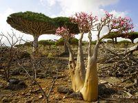 インド洋のガラパゴス!秘境ソコトラ島の旅④~龍血樹とボトルツリーの谷 前編