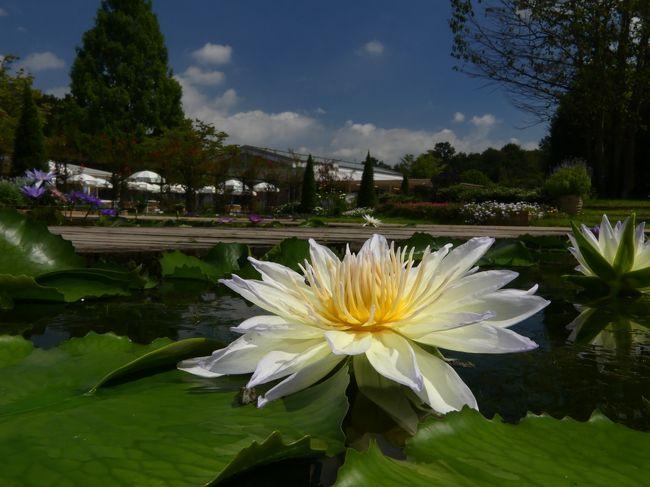 「あしかがフラワーパーク」の夏の花(6)_2020_スイレンが元気に咲き続けています(足利市)