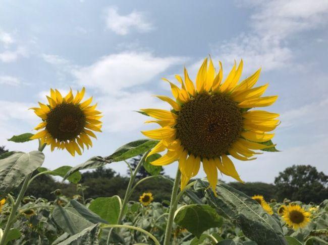 夏の花といえばひまわり、ということでひまわり畑を見に行ってきました。<br /><br />■①春日部のひまわり畑<br />春日部市内の「牛島古川公園(第ⅱ期)」に行きましたが、既に終わりかけでした。<br /><br />■②権現堂堤と地酒「花菱」<br />春日部のリベンジで幸手にある権現堂堤に行きました。こちらは真っ盛りでひまわりを楽しむことができました。近くにあった「花菱」の酒蔵にも寄ってみました。