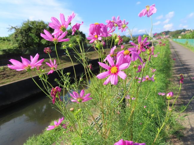 【早朝ポタリング 湯殿川のコスモス 八王子 2020/09/11】<br /><br />早朝ポタリング 湯殿川沿いのコスモスを見に行きました。咲いているか、判りませんでしたが、取り合えず、湯殿川沿いを片倉城跡まで行ってみました。以前はこの辺りから自然に近い形でコスモスが咲いていましたが、今は全くコスモスが無くなってしまいました。先ずは、近くの片倉城跡がある片倉城公園を覗いてみました。ここには、コスモスは、咲いていませんでした。再び、湯殿川沿いを走り、コスモスを咲いているところを見つけました。ここのコスモスは、自然の中に咲いているようで、良いですね。