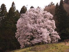 五斗蒔田桜