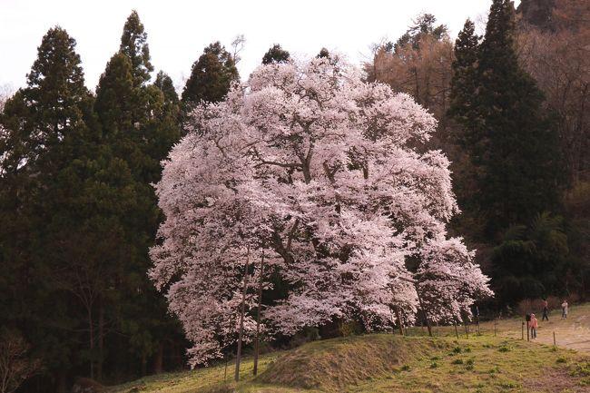 川俣の女神山・秋山の駒ザクラと<br />郡山の紅枝垂地蔵ザクラ・五斗蒔田桜などを見に出かけました。