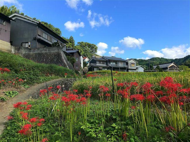 秋晴れとの予報で急に思いついたのは彼岸花と田んぼの風景の明日香村。<br />奈良で生まれ育った私にとれば、心の故郷、明日香村。<br />子供の頃や若い時に何度か訪れていますが、今回の訪問は30数年ぶり。<br />とりあえずレンタサイクル屋さんで頂いた地図を元に<br />昔の記憶をたどりながら見たかった景色と秋の始まりを感じることができ、<br />時間切れで思っていたほど周れませんでしたが自分なりには満足満足!<br />♪小さい秋、小さい秋、小さい秋、見~つけた♪<br /><br />飛鳥駅→キトラ古墳→高松塚古墳→亀石→橘寺→石舞台→稲渕棚田→飛鳥駅