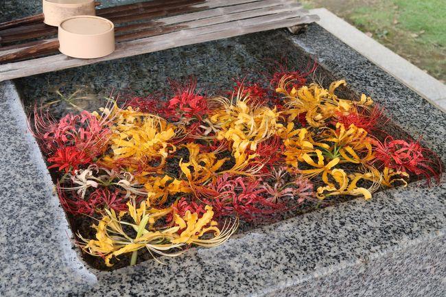 横浜 西方寺の彼岸花<br /><br />新型コロナの影響で自粛生活中です、2月17日以来の投稿です。<br />久しぶりに横浜西方寺の彼岸花を見に行きました。<br />近いので歩いていけます。<br /><br />約20,000本に増えた彼岸花は見事な咲き映えです。<br />前回はなかったピンクの彼岸花を初めて見ました。<br /><br />約2万本の彼岸花は、同寺の周辺住民らで作る「花の里づくりの会」のメンバーにより、約16年前に街づくりの一環として植栽されたそうです。<br /><br />白色と黄色は見頃で、赤色はまだ少しつぼみが残っている状態です。<br />今週一杯が見ごろだと思います。