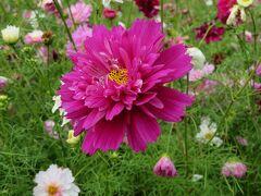 団塊夫婦の2020年日本紅葉巡りドライブー(信州2)ルビーの里(赤そばの花)からコスモス満開のあずみの公園へ