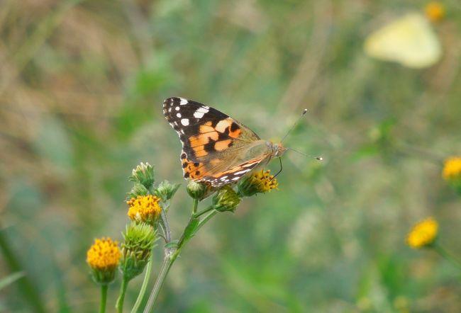 10月6日、午後0時半頃に所沢市南永井付近を散策しました。 二週間前までニラの花が見られましたが、本日は花はなくなり、蝶の観察は無理かと思っていましたら、たった一か所に生えているコセンダングサの花に蝶が見られました。 ヒメアカタテハ、モンキチョウ、ベニシジミが見られました。 風がかなりあり、写真撮影はとてもしにくかったです。モンキチョウが5,6頭見られました。<br /><br /><br /><br />*写真はヒメアカタテハ
