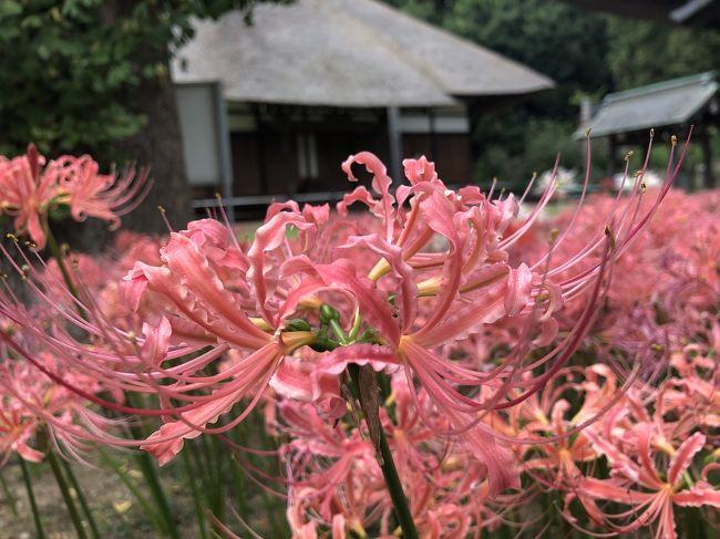 <br />旅行記を見てたら、黄色い彼岸花(リコリス)の旅行記を発見! ダリルは家族を亡くした時、自分で祭壇の花を生けて、葬儀をしました! その時の花が、黄色いリコリス!<br /><br />明日は命日なので、コレは行かずばなるまい!ってコトで学校が終わってから、横浜へダッシュ! 帰りにラーメン食べて、中華街のゴッドハンドの所で、寄って、、、の、放課後に隣の県へのgo to記です!<br /><br />当日なのに、ゴッドハンドの三和治療院の鍼が取れたので、帰り道に中華街へも行きました!